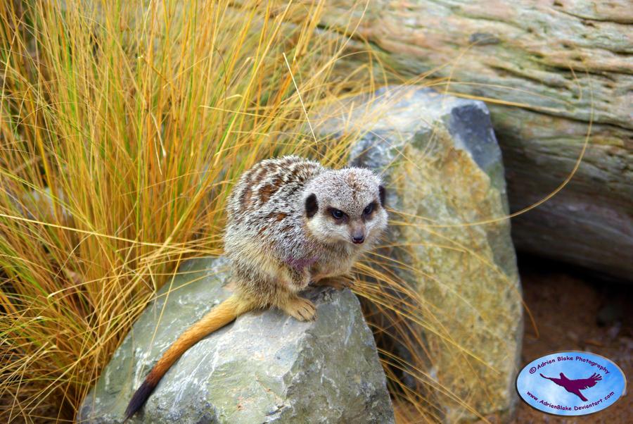 Meerkat on rock by AdrianBlake
