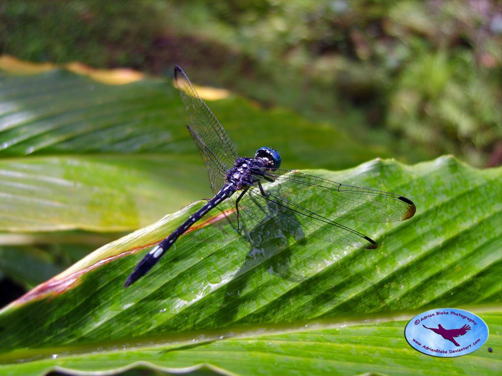 Dragonfly on Leaf - Agumbe - 2 by AdrianBlake