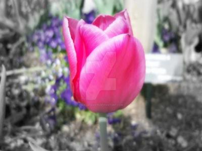 Pink Tulip by Nagasaki175