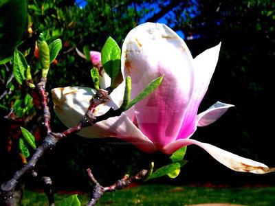 Magnolia Flower 2 by Nagasaki175