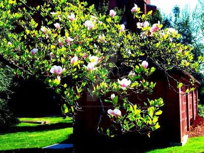 Magnolia Cluster by Nagasaki175