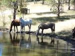 HorseStock016