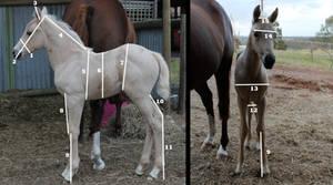Foal measurements