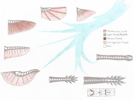 Platocula Wing/Arm Skeletal Evolution
