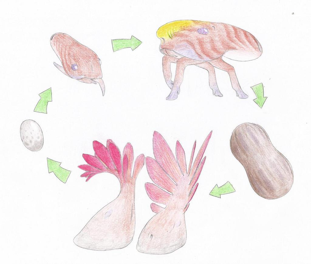 Bulorespis Life Cycle