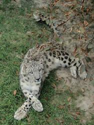 Snow Leopard pose 2