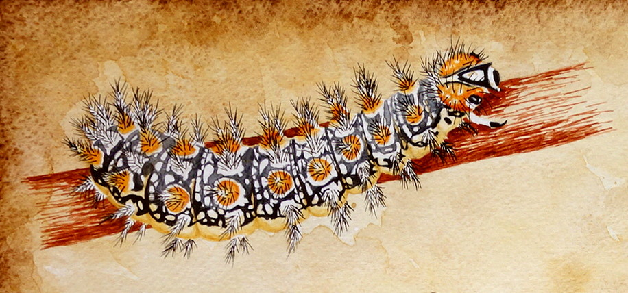Spotted fritillary larvae (Melitaea didyma) by Chrysochroa
