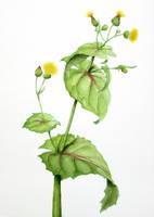 Sow thistle - Sonchus oleraceus v1