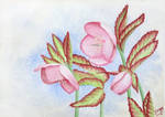 Christmas rose - Helleborus