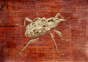 Japanese giant weevil - Sipalnus gigas