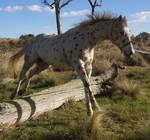 Appaloosa Horse Stock