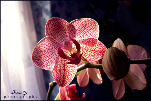 Beauty of Orchid1