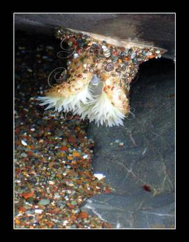 Upside Down Anemone
