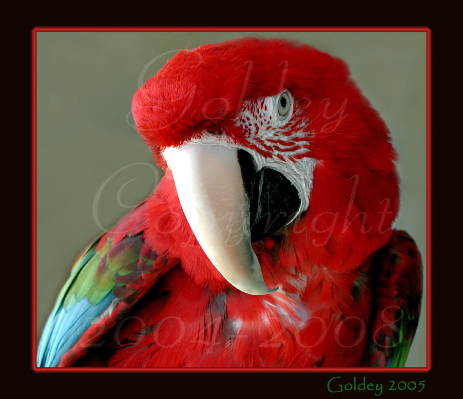 Mickey, The Great Green Macaw