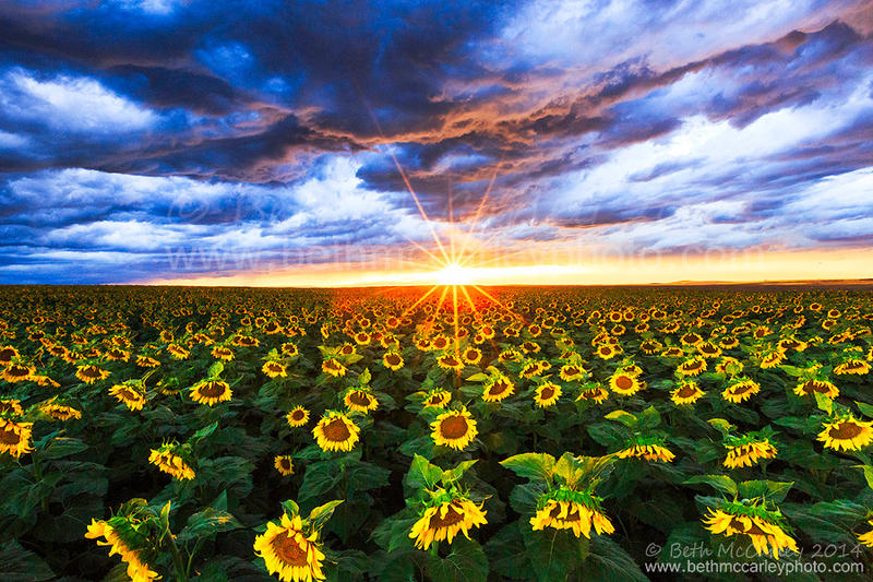 Sunflower Fields Forever by RandomTechie27