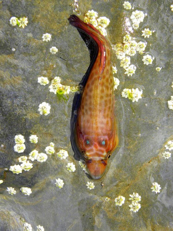 Cornish sucker fish 4 by emilyhitchcock on deviantart for Sucker fish pictures