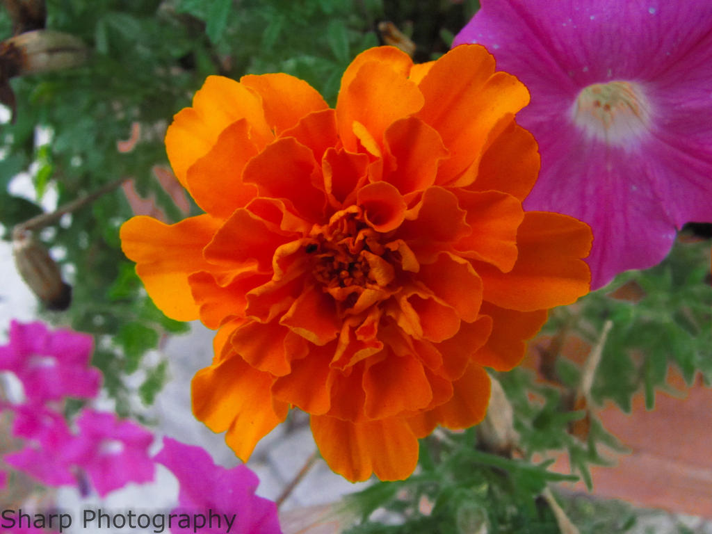 An Orange Beauty by SharpPhotoStudio