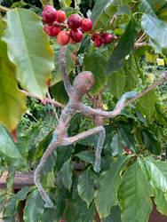 2020-144 thief of my coffee cherries