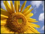 Sun Flower by Allure09