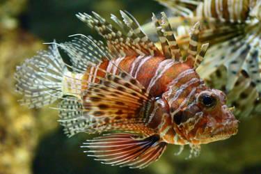 Lion Fish by Barwickian