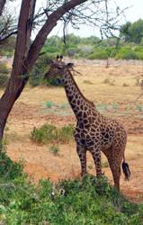 Maasai Giraffe by Barwickian