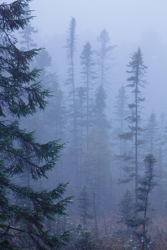 Foggy Spruce by JamesHackland