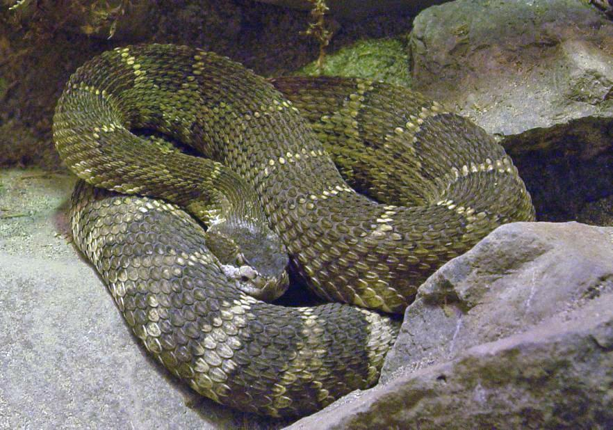 Northern Pacific Rattlesnake 001 by Elluka-brendmer on ...