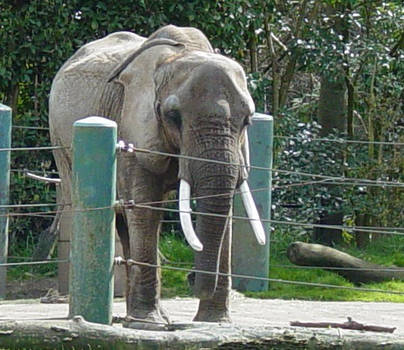 African Elephant 006