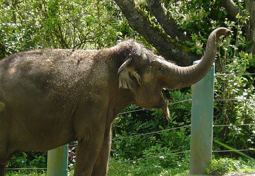 Asian Elephant 007 by Elluka-brendmer