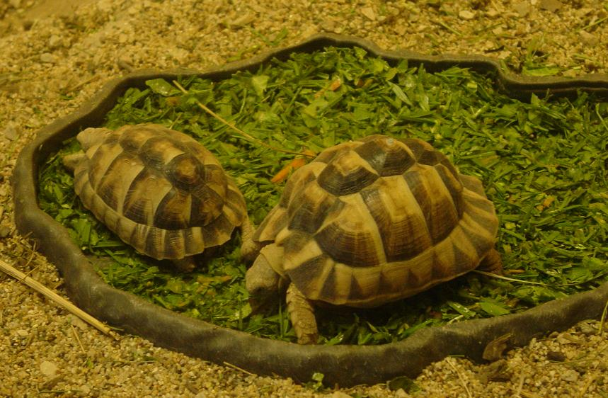 Egyptian Tortoise 001 by Elluka-brendmer