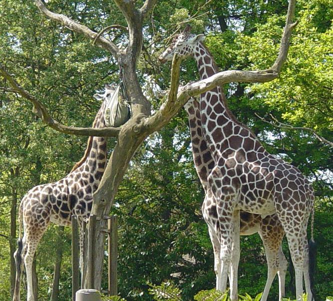 Giraffe 004 by Elluka-brendmer