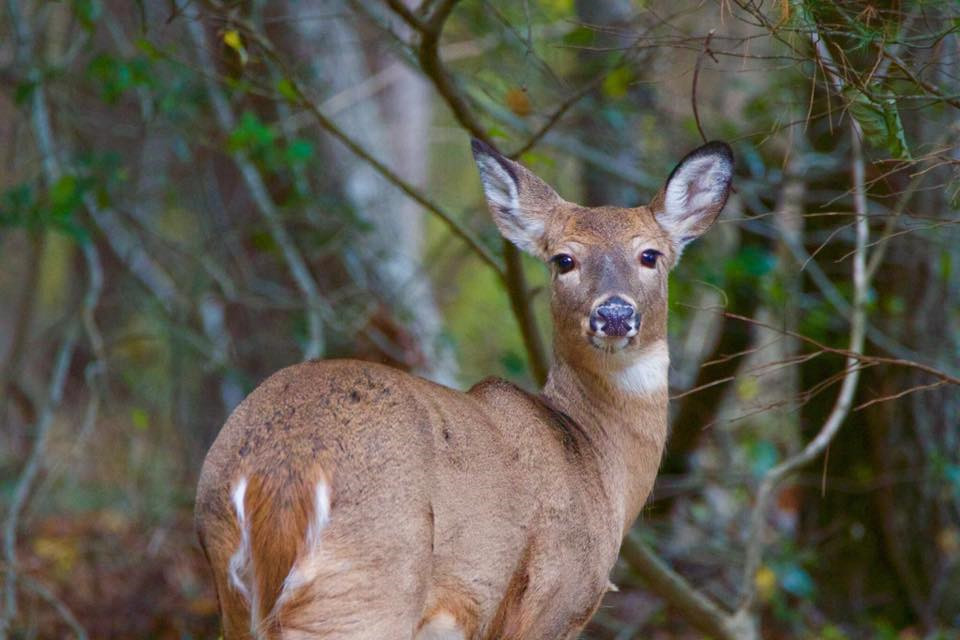 White Tail deer 002 by Elluka-brendmer