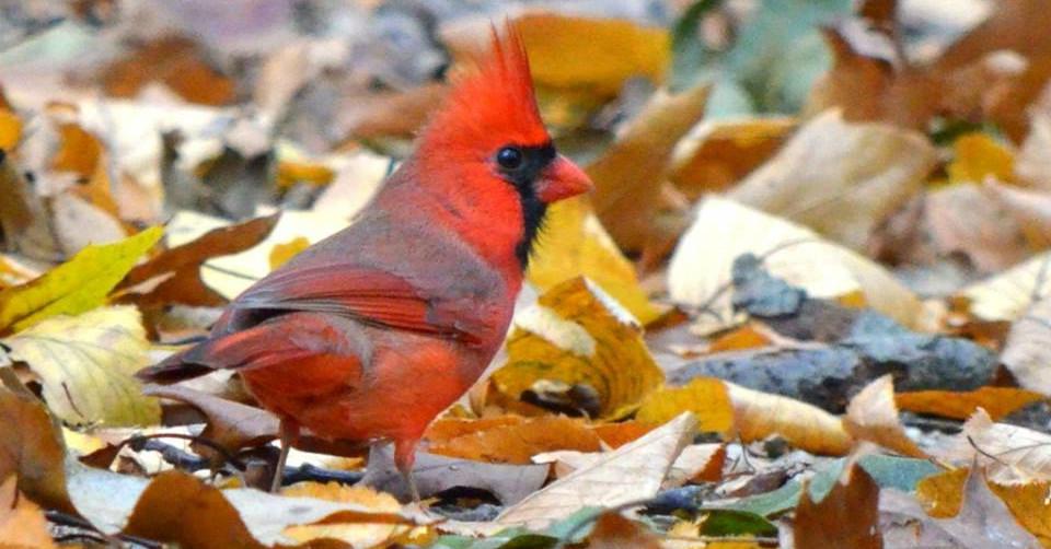 Cardinal 001 by Elluka-brendmer