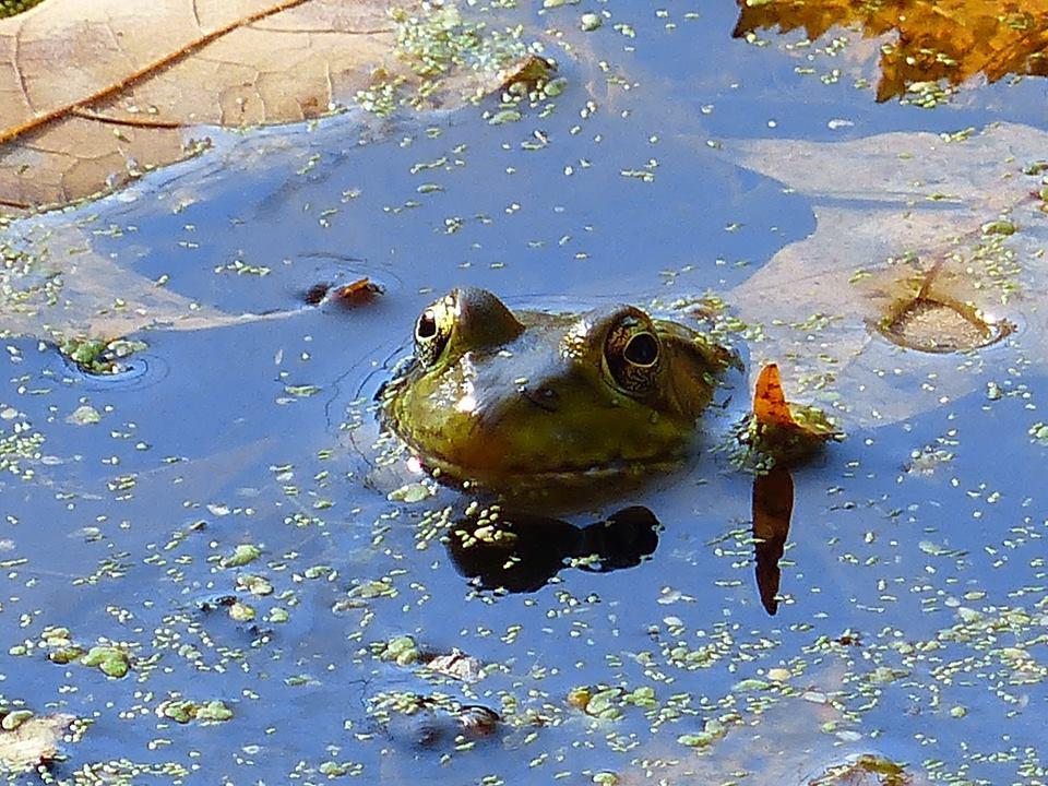 Bull frog 001 by Elluka-brendmer
