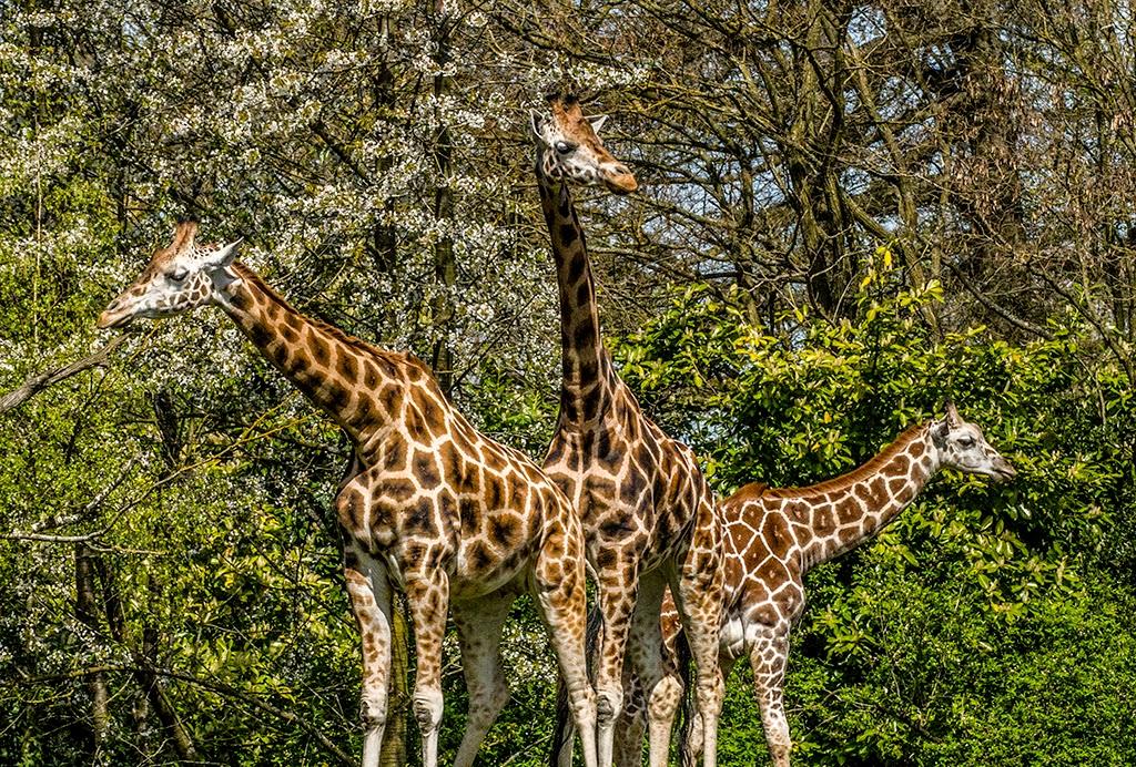 Giraffe 005 by Elluka-brendmer