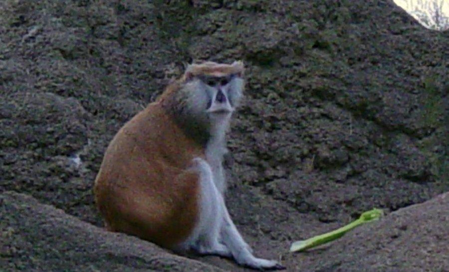 Patas Monkey 004 by Elluka-brendmer