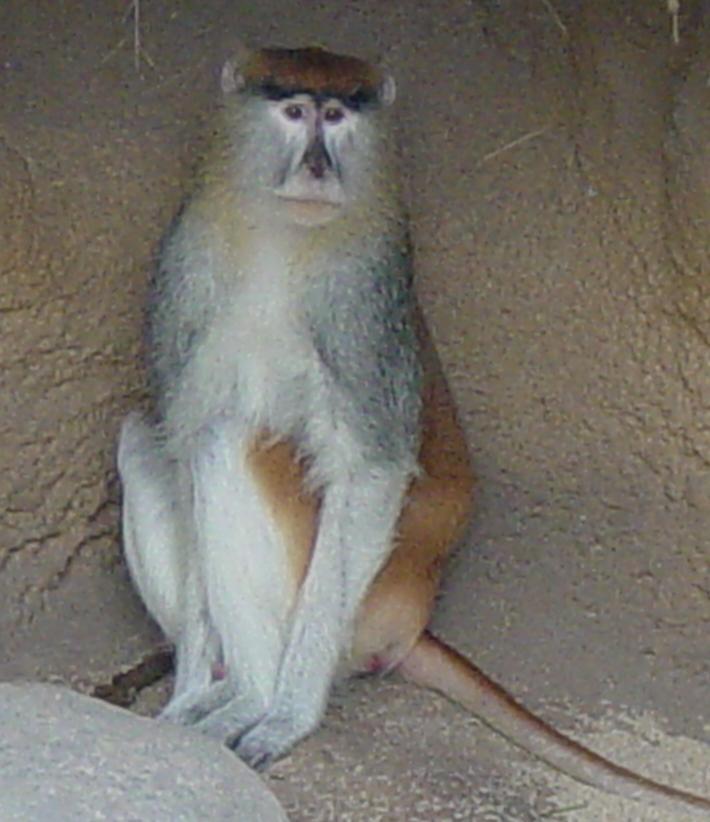 Patas Monkey 006 by Elluka-brendmer