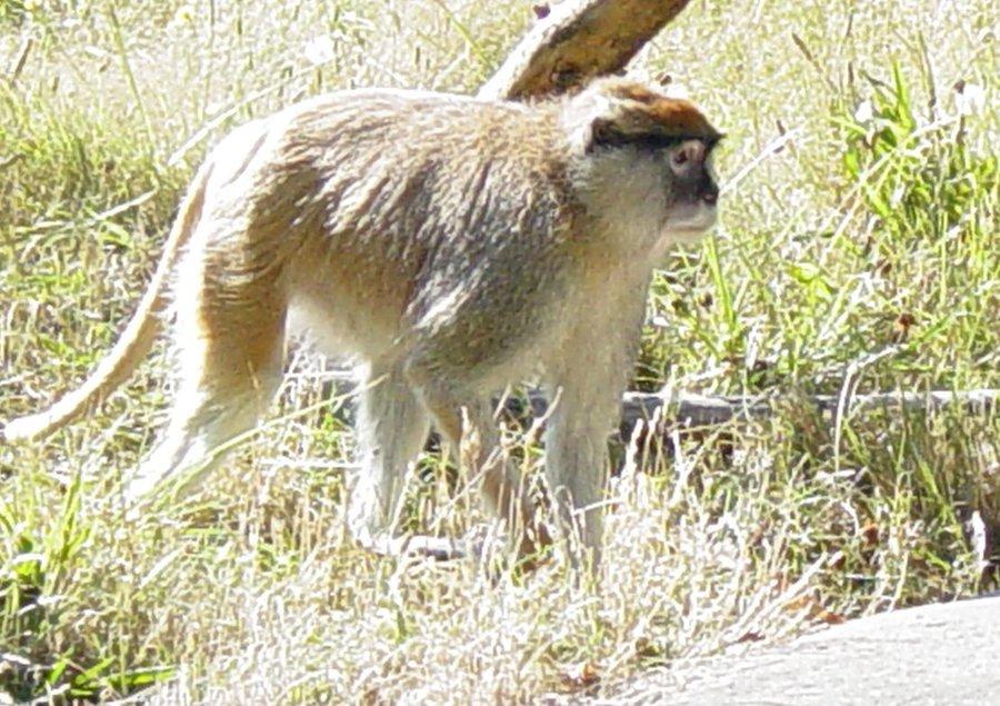 Patas Monkey 005 by Elluka-brendmer