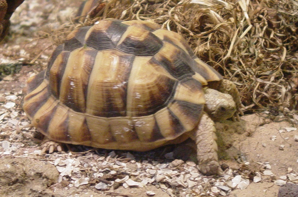 Egyptian Tortoise 002 by Elluka-brendmer