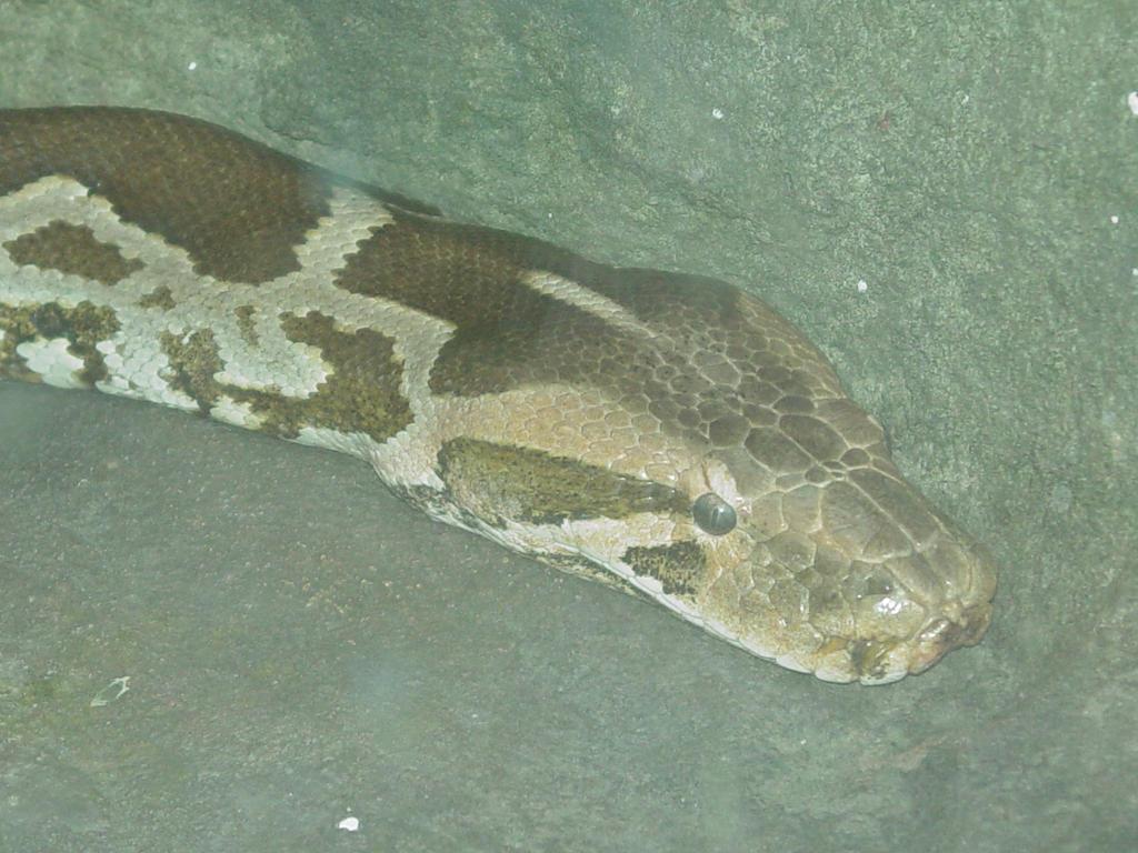 Indian Python 003 by Elluka-brendmer