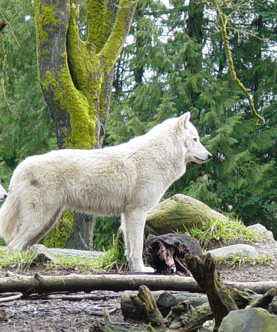 Wolf 012 by Elluka-brendmer