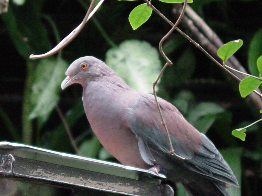 Pervian Pigeon 001 by Elluka-brendmer