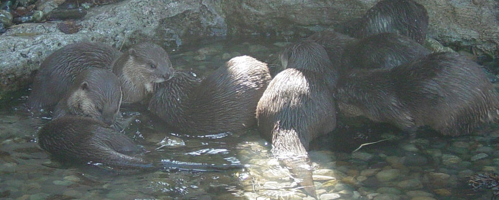Asian 5 clawed otter 006 by Elluka-brendmer