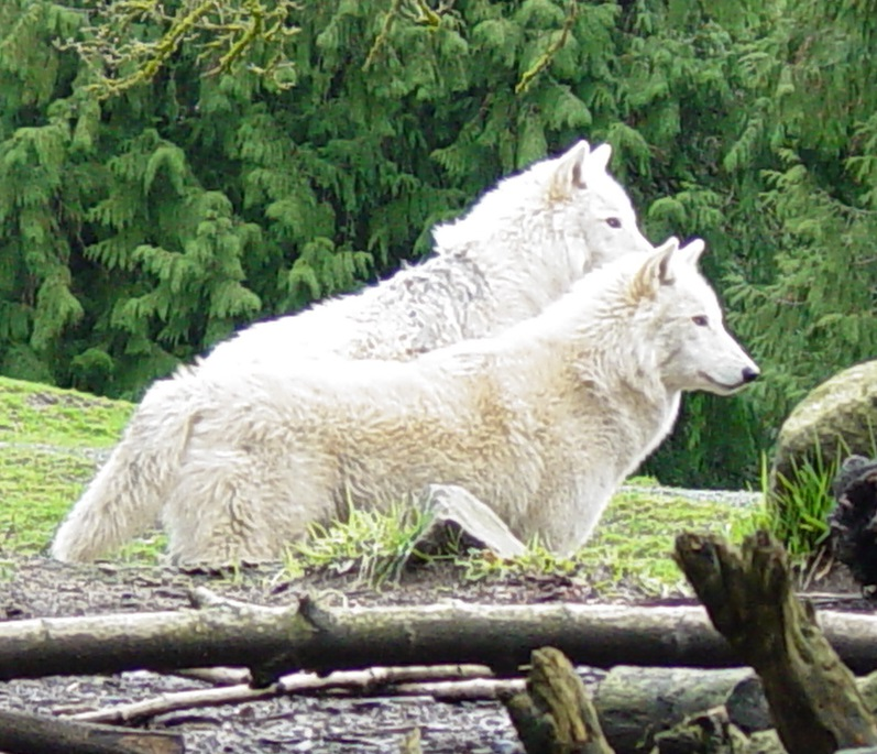 Wolves 014 by Elluka-brendmer