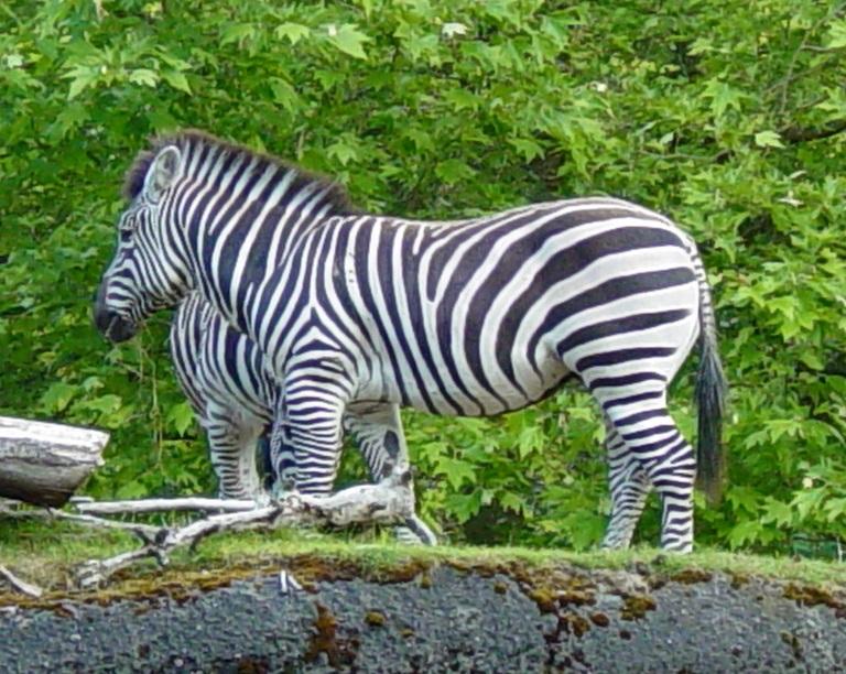 Zebra 003 by Elluka-brendmer