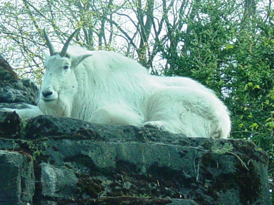 Mountain Goat 006 by Elluka-brendmer