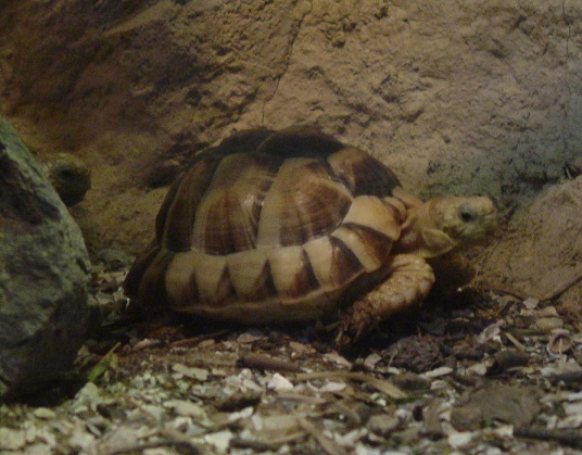 Egyptian Tortoise 003 by Elluka-brendmer