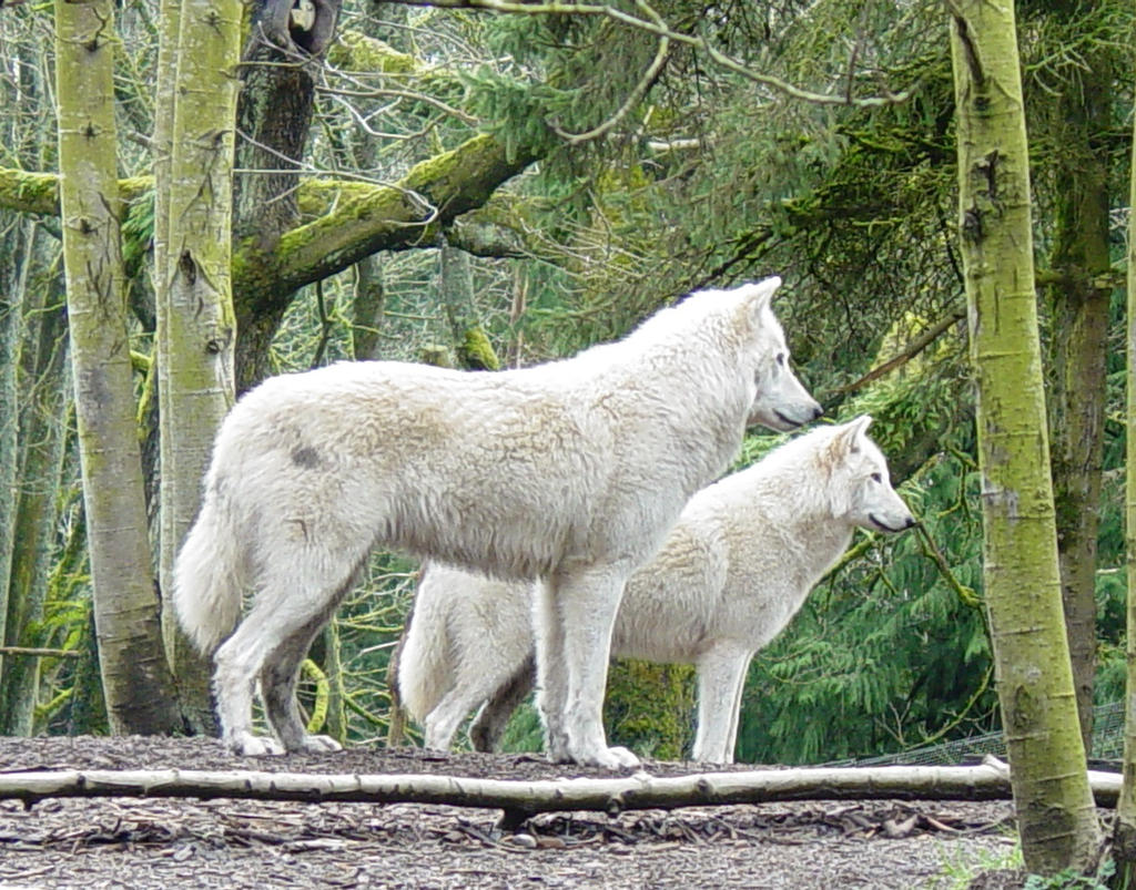 Wolves 015 by Elluka-brendmer