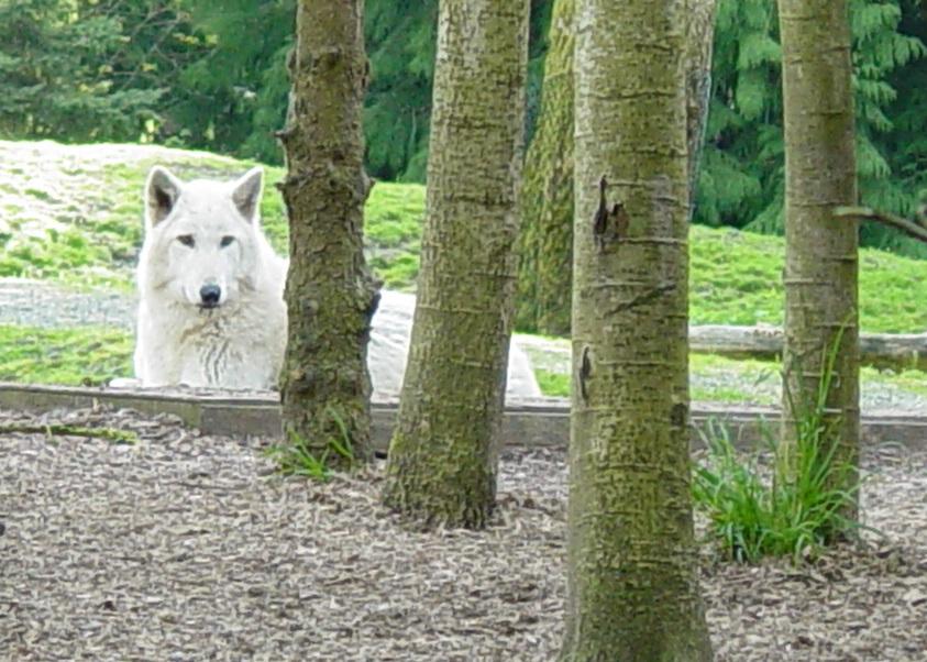 Wolves 016 by Elluka-brendmer