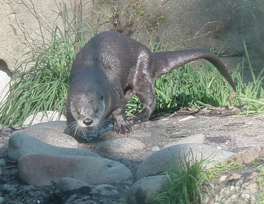 River Otter 005 by Elluka-brendmer